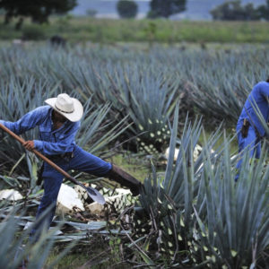 Jimidores working the agave field