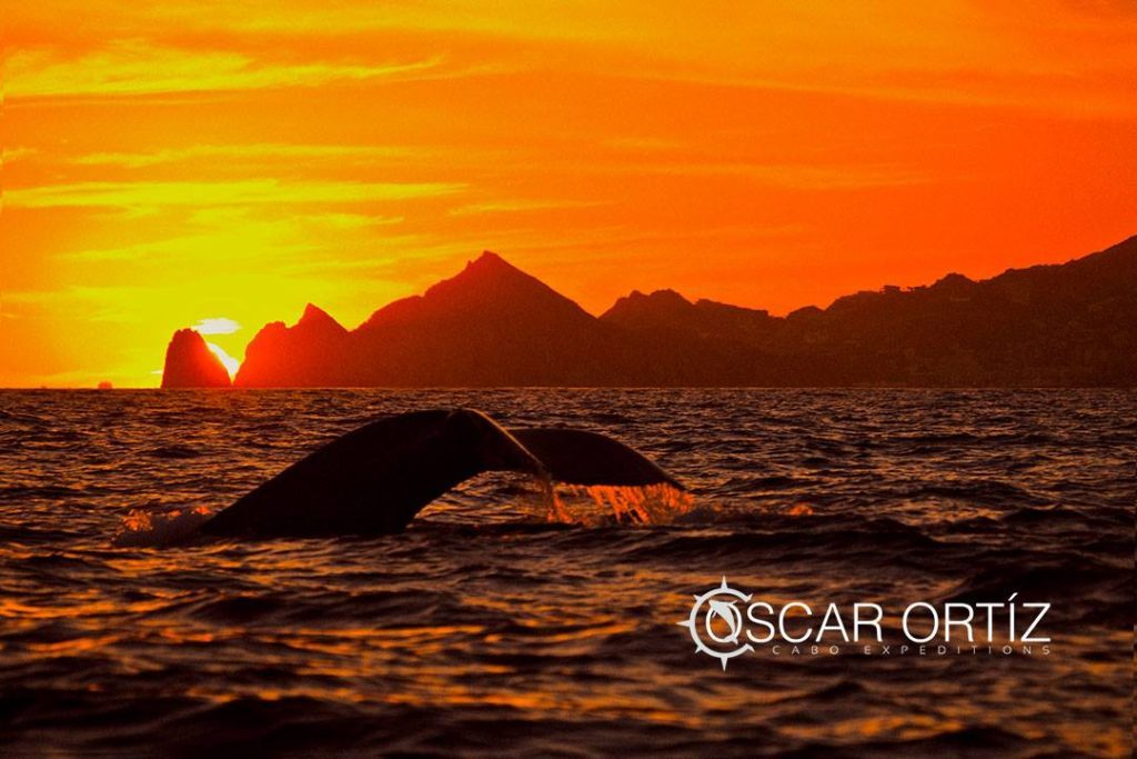 cabo expeditions whale at sunset