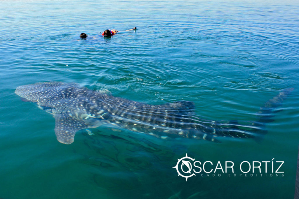 swimming with whales at cabo expeditions
