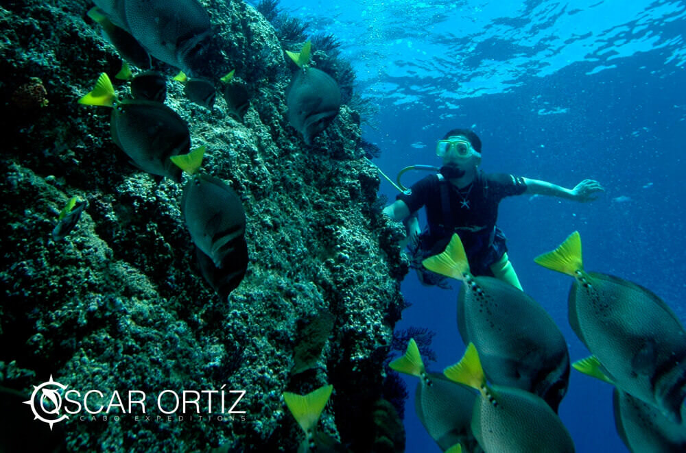 yellowtail surgeonfish snorkeling at cabo expeditions