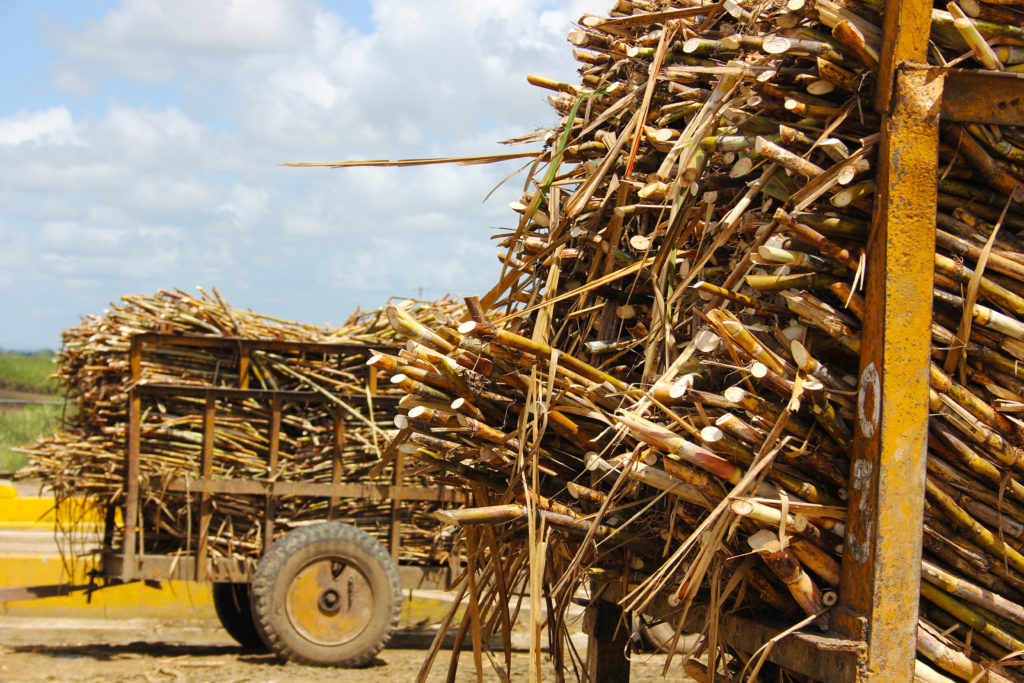 ron barcelo tour sugar cane
