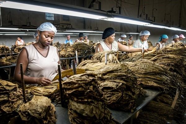 villiger cigars brazil factory 2 villiger do brasil